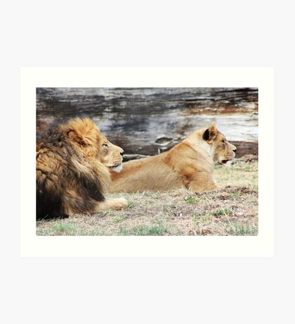African Lion and Lioness Art Print