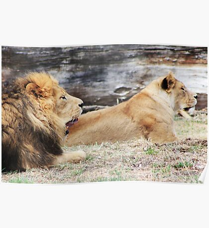 African Lion and Lioness Poster