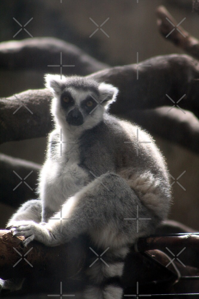Ring Tailed Lemur by Alyce Taylor