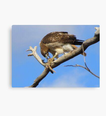 Red-tailed Hawk ~ Breakfast Ala Branch Canvas Print