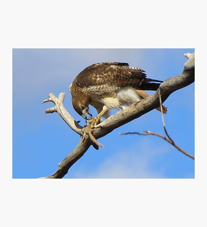 Red-tailed Hawk ~ Breakfast Ala Branch Photographic Print
