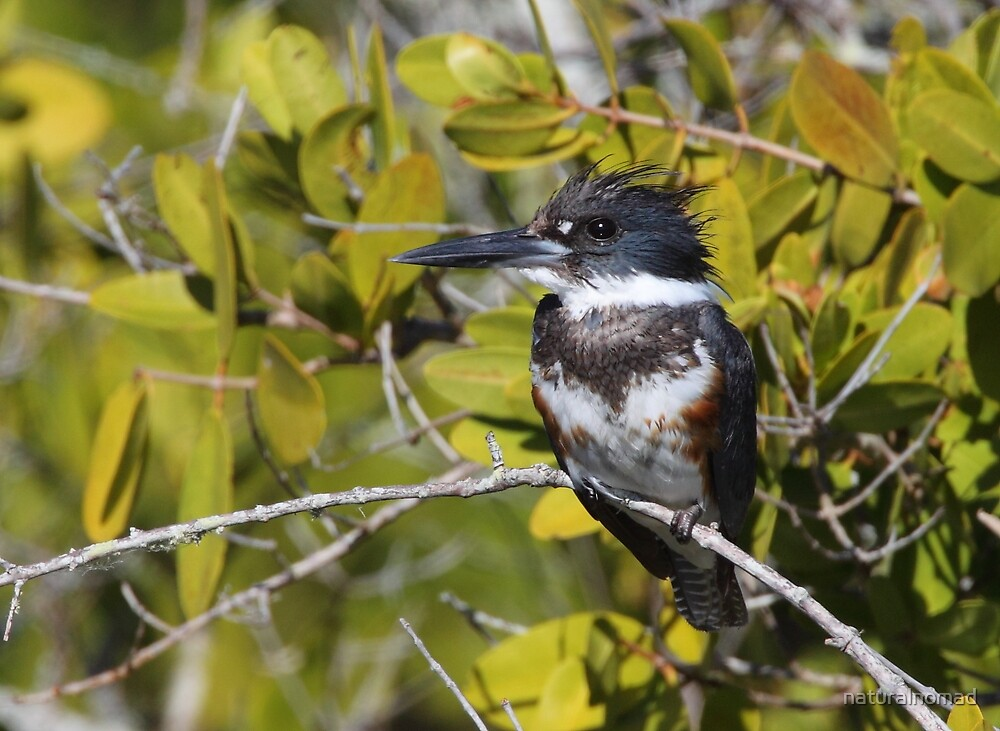 Belted Kingfisher by naturalnomad