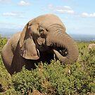 elephant feeding by shaft77