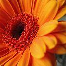 Orange Burst by Karen  Betts