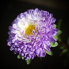 Bi-Color Aster by AnnDixon