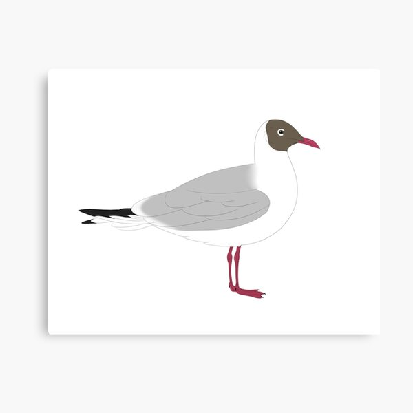 black headed gull Canvas Print