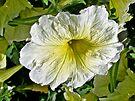 White Petunia (Solanaceae) by MotherNature