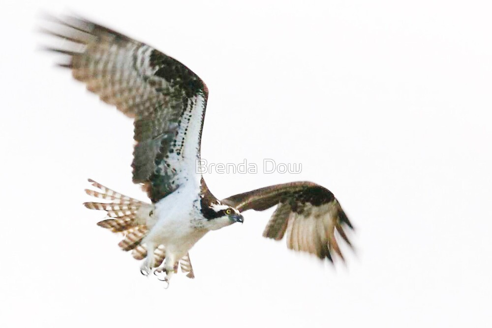 Osprey,  flying high!!!!! by Brenda Dow