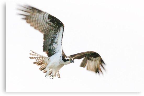 Osprey,  flying high!!!!! by Brenda Dow