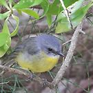 Eastern Yellow Robin by BronReid