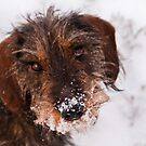 Snowface - Dachshund in the snow by NicoleBPhotos