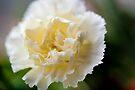 Cream of Carnation by DonDavisUK