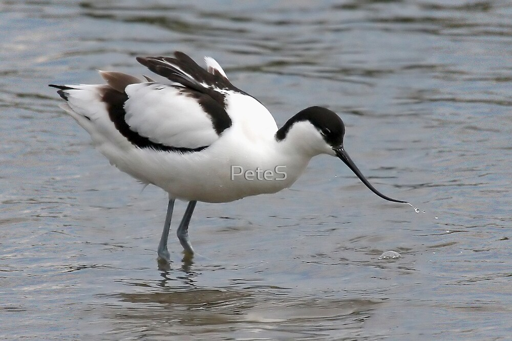 Avocet by Peter Stone