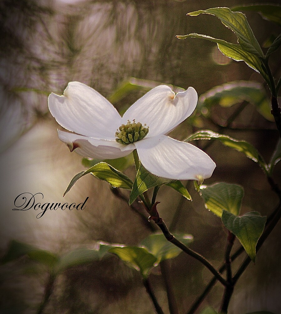 Dogwood by rasnidreamer