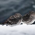 Purple Sandpiper Snow Duet, Gloucester, Massachusetts by Steve Borichevsky