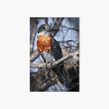 Giant Kingfisher Art Board Print