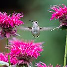 Hummingbird Superhero! by Tracy Riddell