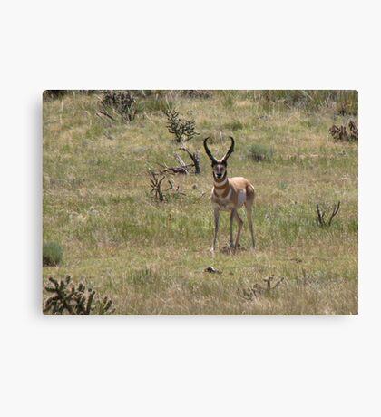 Pronghorn ~ Male Canvas Print