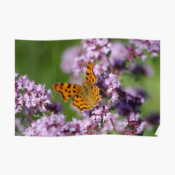 Comma Butterfly  Poster