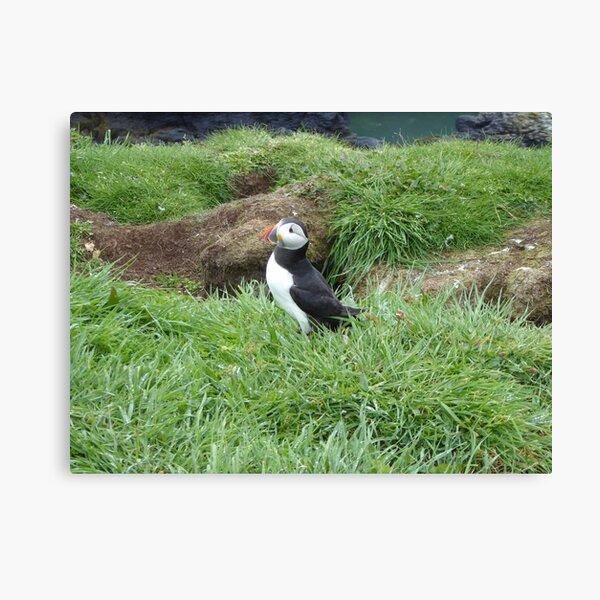 Scottish puffin outside burrow Canvas Print