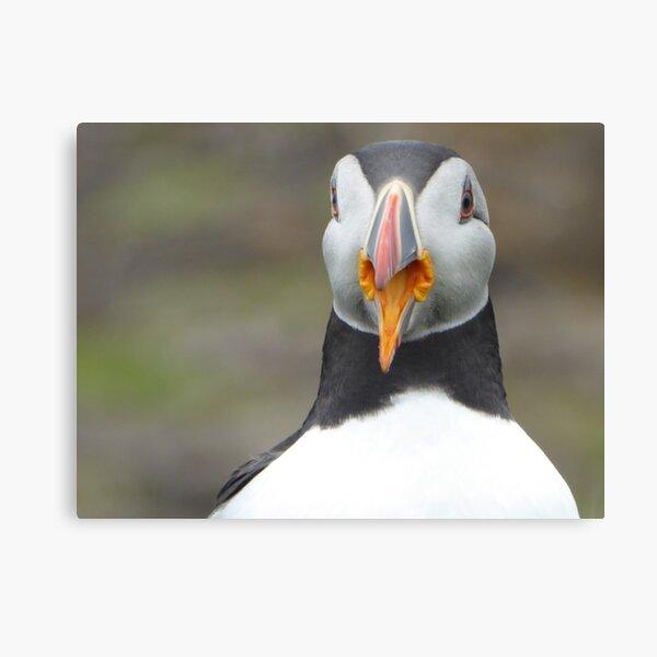 Scottish puffin with beak open Canvas Print