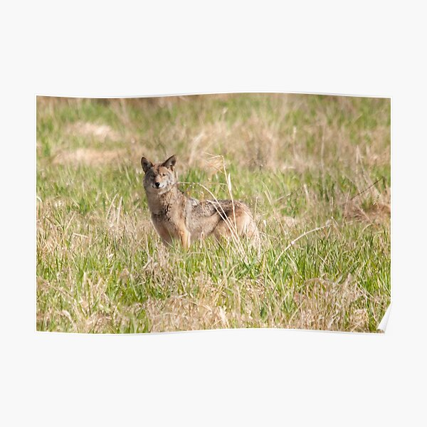 Coyote Takes a Stance Poster