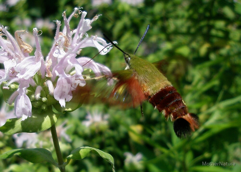 Hummingbird Hawk Moth (Macroglossum stellatarum) by MotherNature