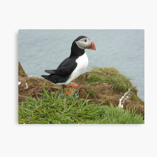 Scottish puffin gazing out to sea Canvas Print
