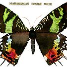 Madagascan Sunset Moth by Carol Kroll