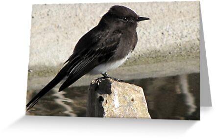 Black Phoebe ~ Tyrant Flycatcher by Kimberly Chadwick