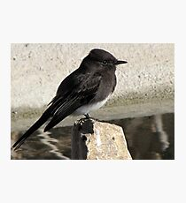 Black Phoebe ~ Tyrant Flycatcher Photographic Print