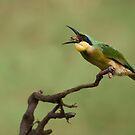 Little Bee-eater by Raymond J Barlow