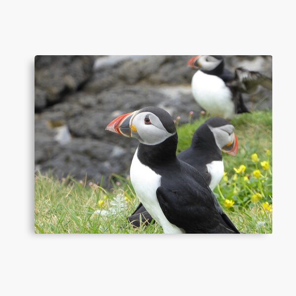 A circus of puffins Canvas Print