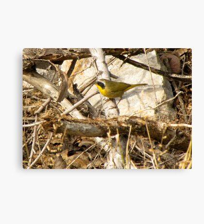 Common Yellowthroat ~ Male Canvas Print