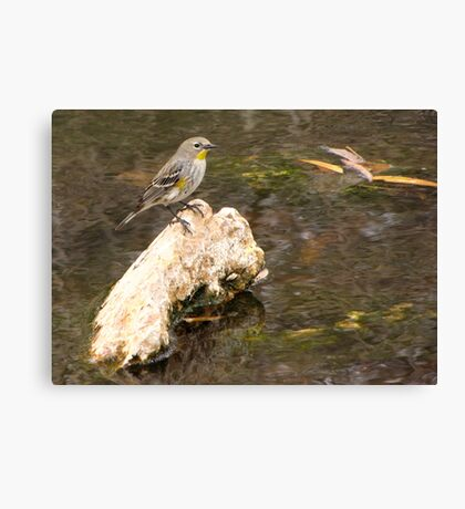 Yellow-rumped Warbler (Audubon's) Canvas Print