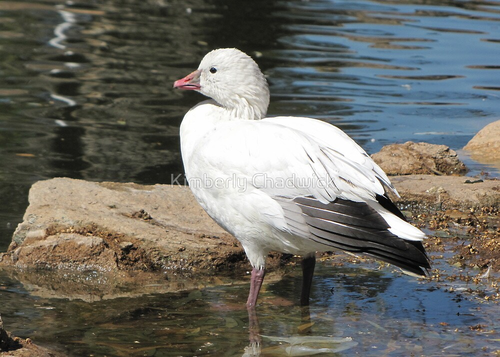 Snow Goose ~ Migrant by Kimberly Chadwick