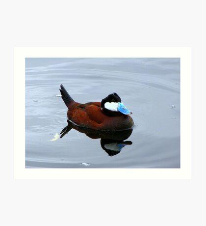 Ruddy Duck ~ Male Art Print