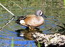 Blue-winged Teal ~ Male by Kimberly Chadwick