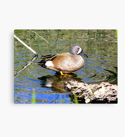 Blue-winged Teal ~ Male Canvas Print