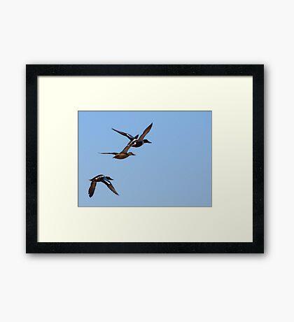 Northern Shovelers ~ In Flight Framed Print