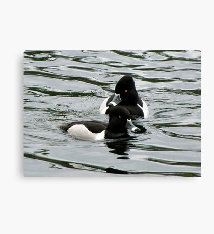Ring-necked Ducks ~ Males Canvas Print