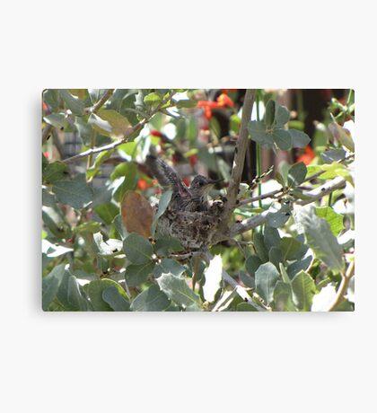 Costa's Hummingbird ~ Baby Flexing Canvas Print