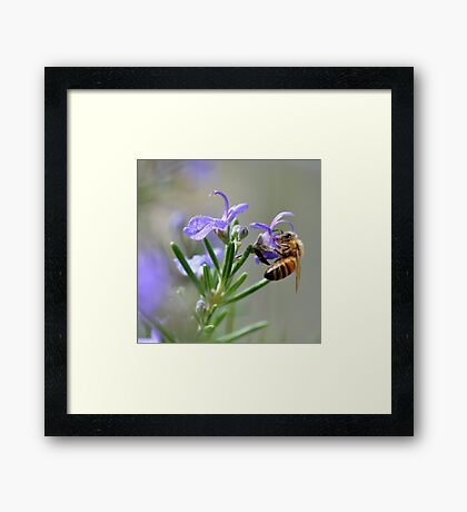 Bee in the Lavender Framed Print