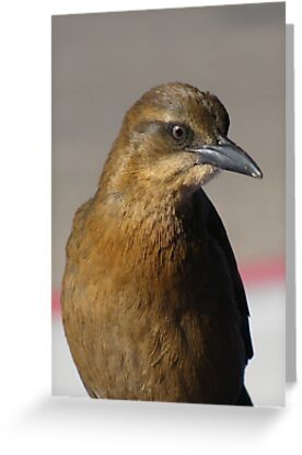 Great-tailed Grackle ~ Juvenille  by Kimberly Chadwick