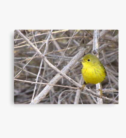 Yellow Warbler ~ Adult Canvas Print