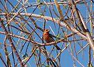 House Finch ~ Male by Kimberly Chadwick