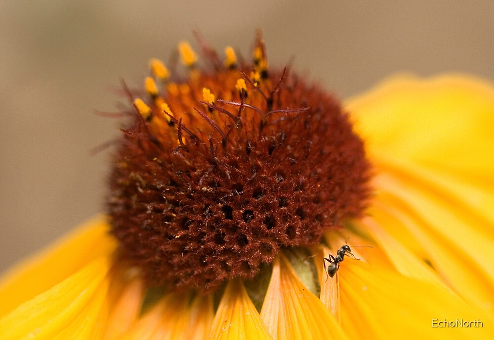 Gaillardia and the Ant by EchoNorth