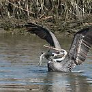 Pelican Balancing Capture of Large Fish by J Jennelle