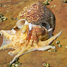 Cuttlefish - La Perouse by Tina Wright