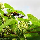 The Hummingbird Moth by WildestArt